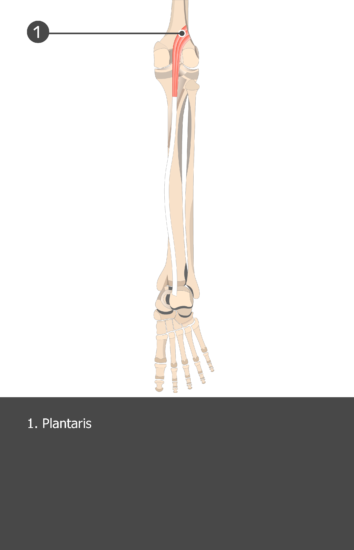 Plantaris Muscle - Test yourself 15