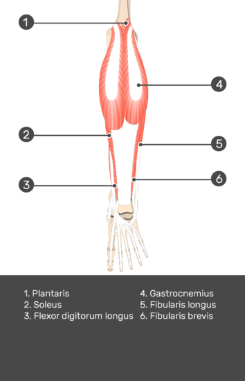 Plantaris Muscle - Test yourself 7