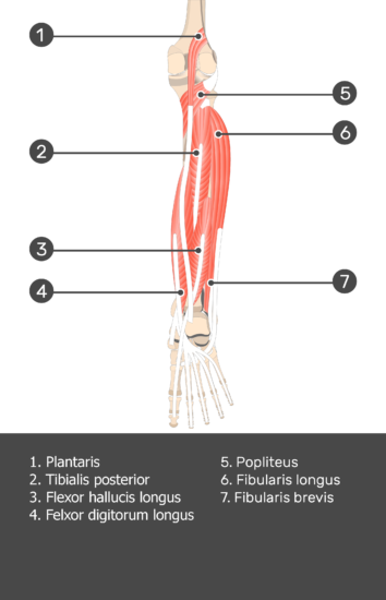 Plantaris Muscle - Attachments, Actions & Innervation