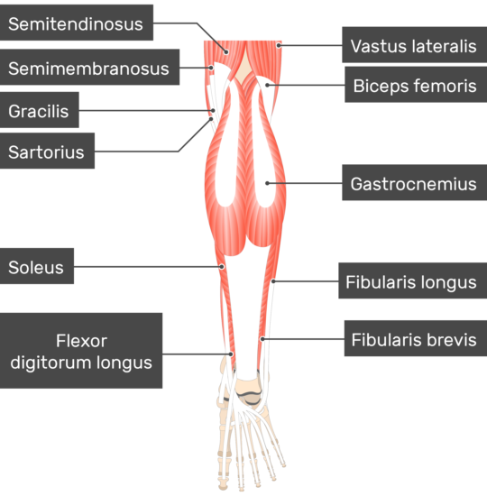 Plantaris Muscle attached to the lower limb with other muscles