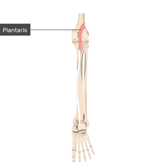 Plantaris Muscle attached to the lower limb alone