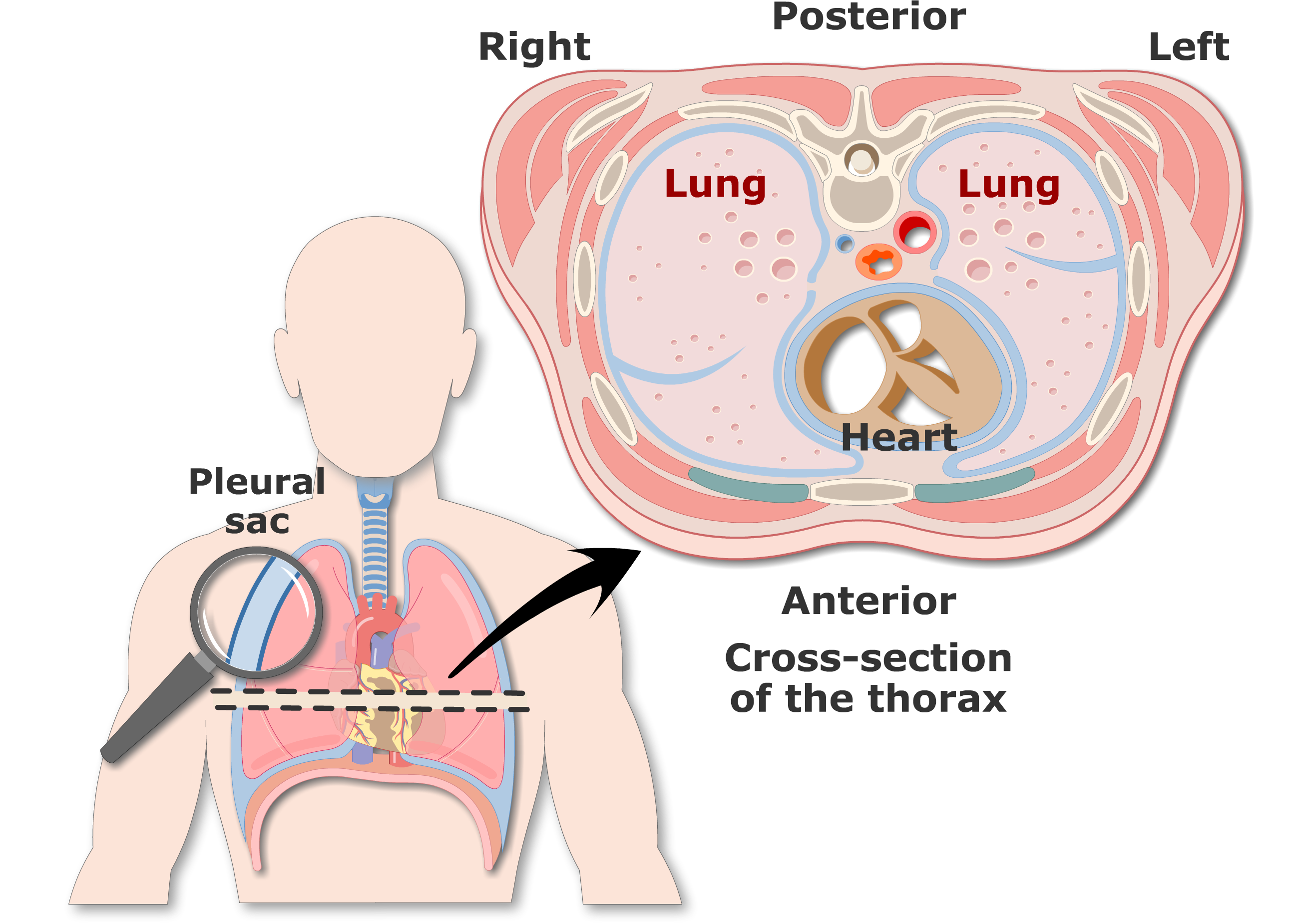 Pleura (or Pleurae) and Pleural Cavity of the Lungs
