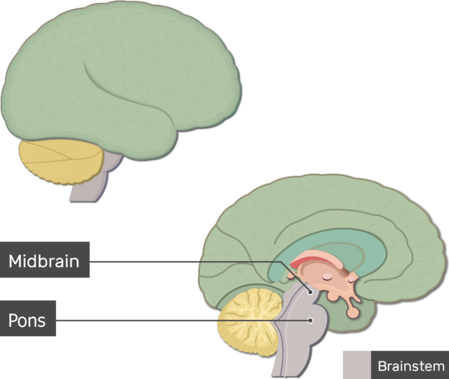 An image showing the Pons and Midbrain labeled, lateral and sagittal view of the brain