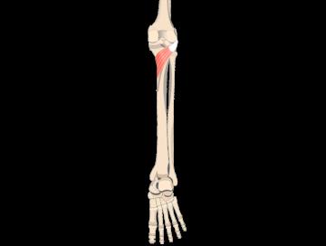 Popliteus Muscle - Featured
