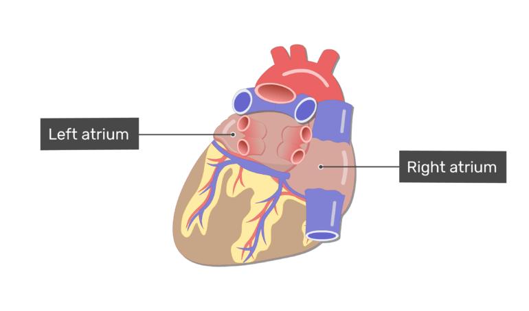 Labelled image of the right and left atrium on the posterior side of the heart.