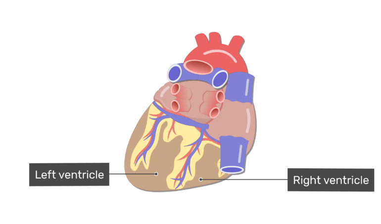 Labelled image fo the right and left ventricle on the posterior side of the heart.