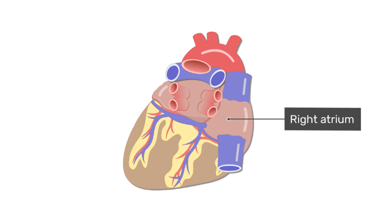 Labelled image of the right atrium on the posterior side of the heart.