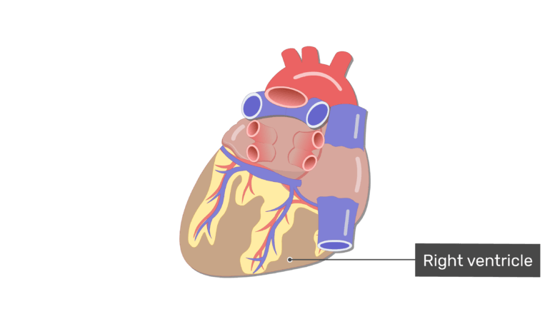 Labelled image of the right ventricle on the posterior side of the heart.