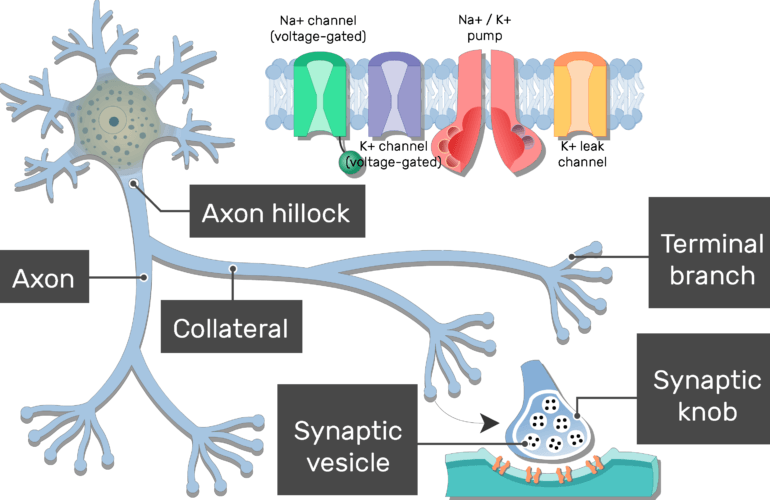 An image showing the action potential generation after neuron stimulation