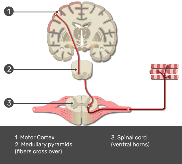 Test yourself image showing the pathway of the primary motor cortex (1. Motor Cortex 2. Medullary pyramids 3. Spinal cord) numbered and answered below