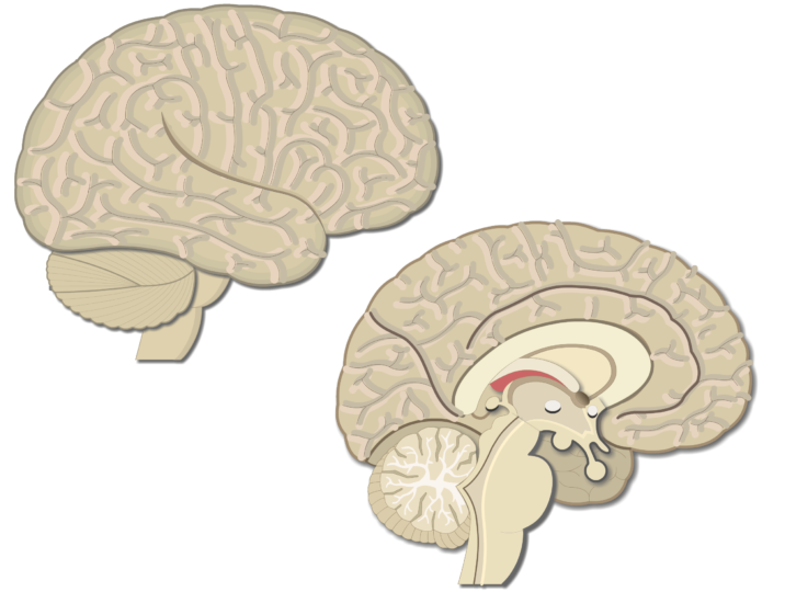 An image showing lateral view of the right hemisphere and medial view of the left hemisphere