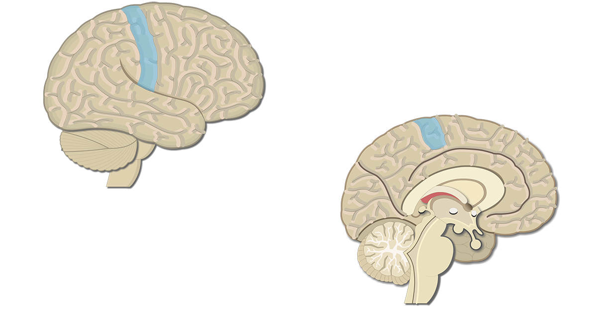 An image showing lateral view of the right hemisphere and medial view of the left hemisphere, the Primary Somatosenory Cortex is highlighted
