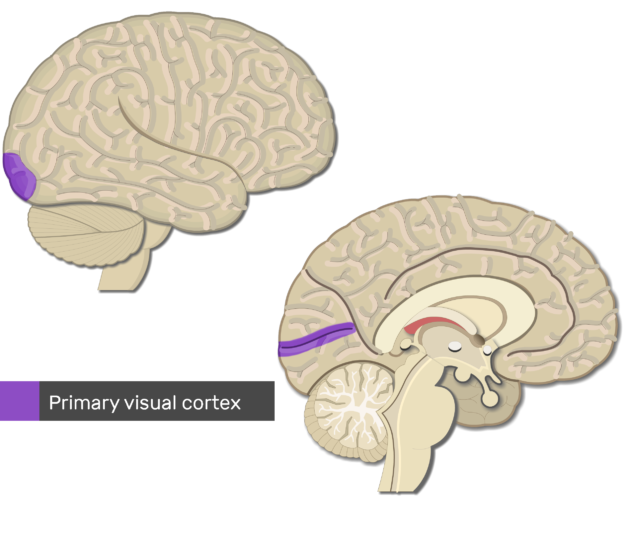An image showing the primary visual cortex highlighted, lateral and sagittal view of the brain