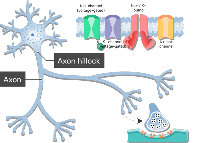 An image of neuron showing the proteins of the plasma membrane of the axon in addition to the Axon hillock and axon, all are labeled