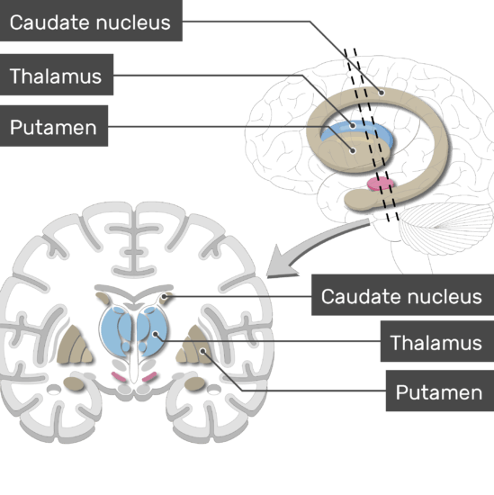An image showing the Basal Nuclei (Putamen, Caudate nucleus, and Thalamus) are labeled, lateral view and coronal section of the brain