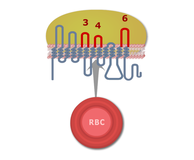 Extracellular loops 3, 4, and 6 which determine Rh antigen type with the loops highlighted in red.