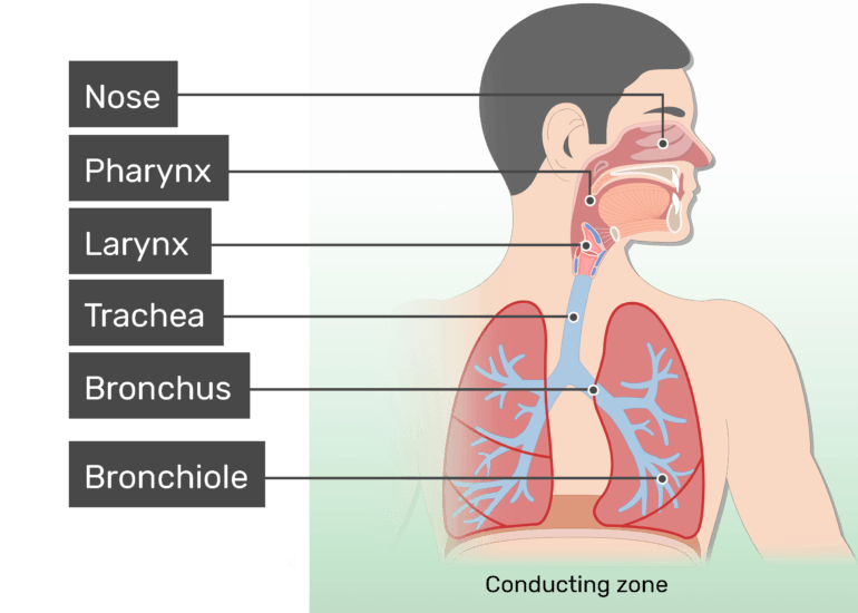 The conducting zone of the respiratory system labeled and highlighted