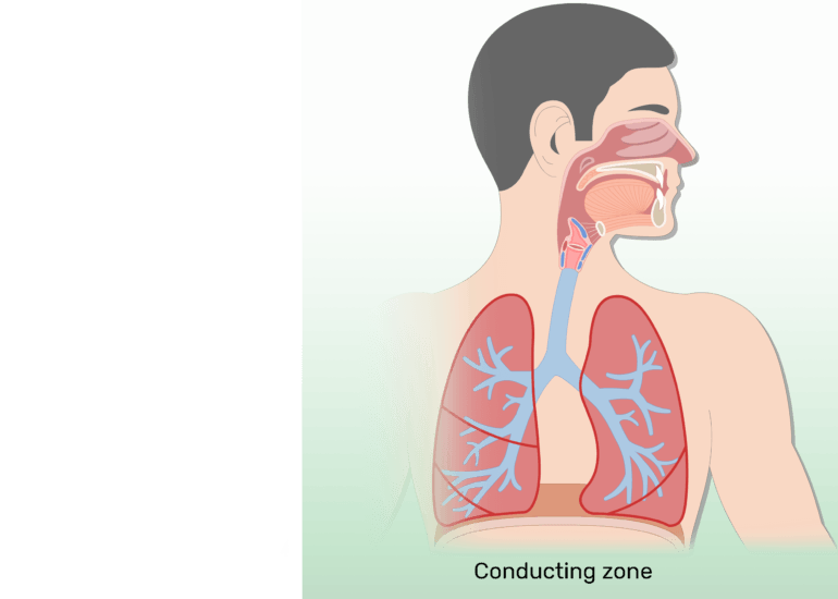 The respiratory zone of the respiratory system