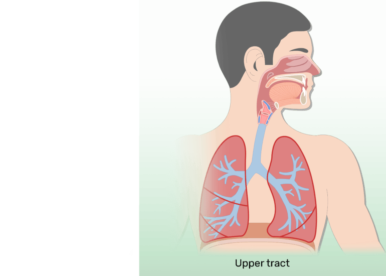The upper respiratory tract of the respiratory system