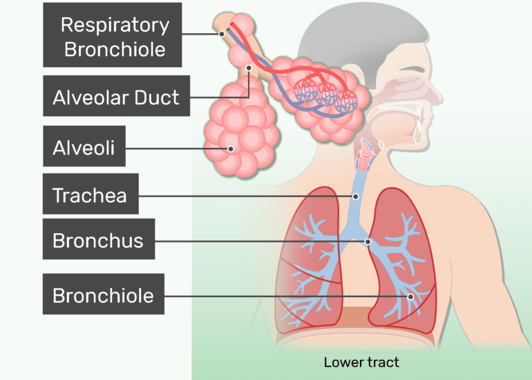 The lower respiratory tract of the respiratory system labeled and highlighted