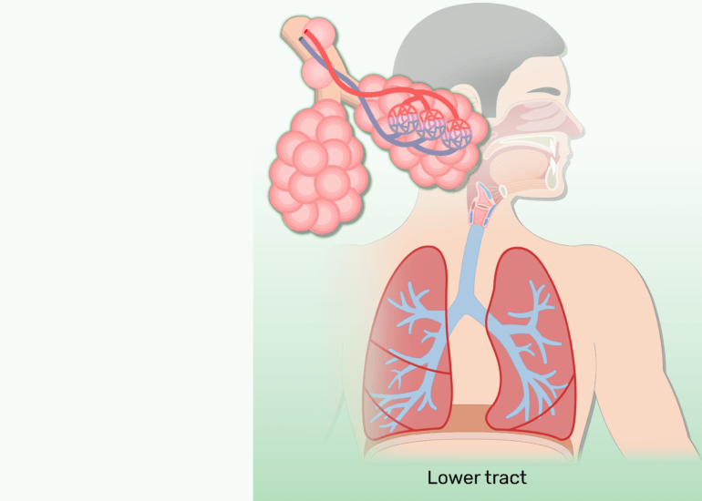 The lower respiratory tract of the respiratory system