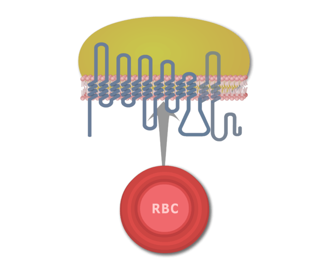 Animations showing the long proteins that coil back and forth through the RBC plasma membrane, forming six extracellular loops.