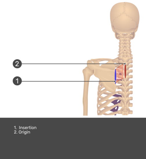Posterior view labeled: Origin and Insertion