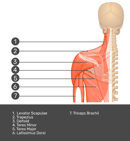 Posterior view labeled: Levator scapulae, trapezius, deltoid, teres minor and major, latissimus dorsi, triceps brachii