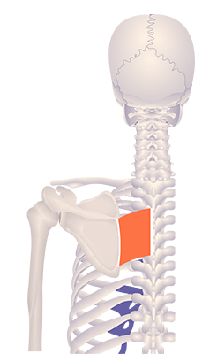 Second image in animation of a retracted scapula
