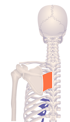 Fourth image in animation of a retracted scapula