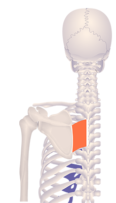 Fifth image in animation of a retracted scapula