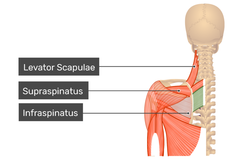 Rhomboid Major Muscle posterior view with labels: Levator scapulae, supraspinatus and infraspinatus