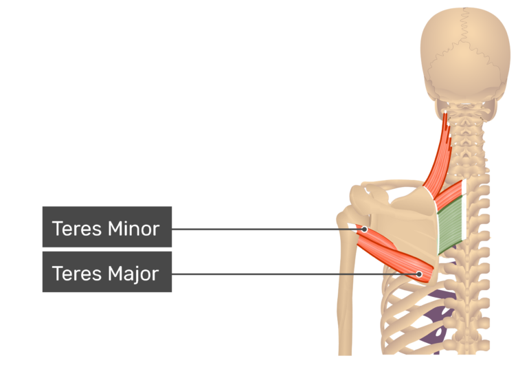 Rhomboid Major Muscle view with labels: Teres major and minor