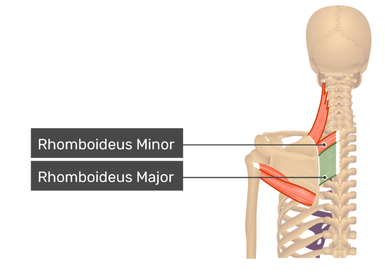 Rhomboid Major Muscle posterior view with labels: Rhomboideus major and minor