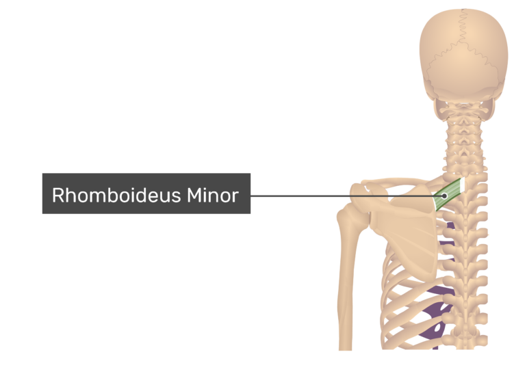 Rhomboid Minor Muscle with labels: Rhomboideus minor