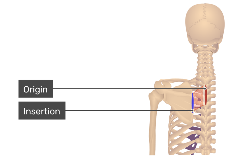 Rhomboid Minor Muscle with labels: Origin and Insertion
