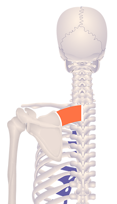 First image in animation of an elevated scapula