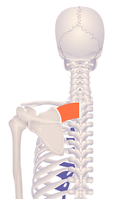 Fourth image in animation of an elevated scapula