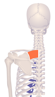 Fifth image in animation of an elevated scapula