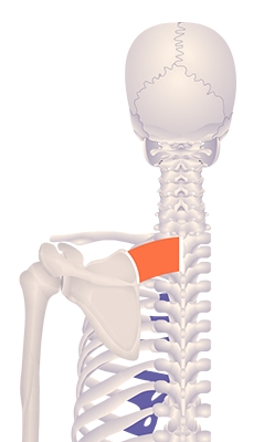 Second image in animation of an elevated scapula