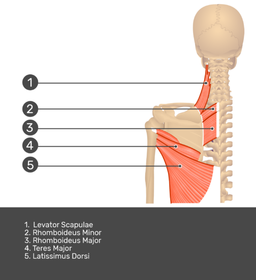Posterior view labeled: Rhomboid major and minor, levator scapulae, teres minor and major, latissimus dorsi