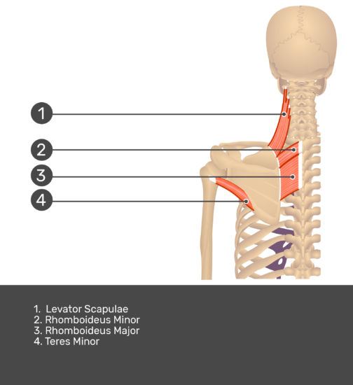 Posterior view labeled: Rhomboid major and minor, levator scapulae, teres minor