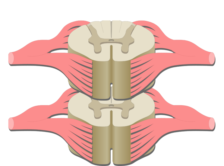 An image of the spinal cord segment showing the dorsal ganglion