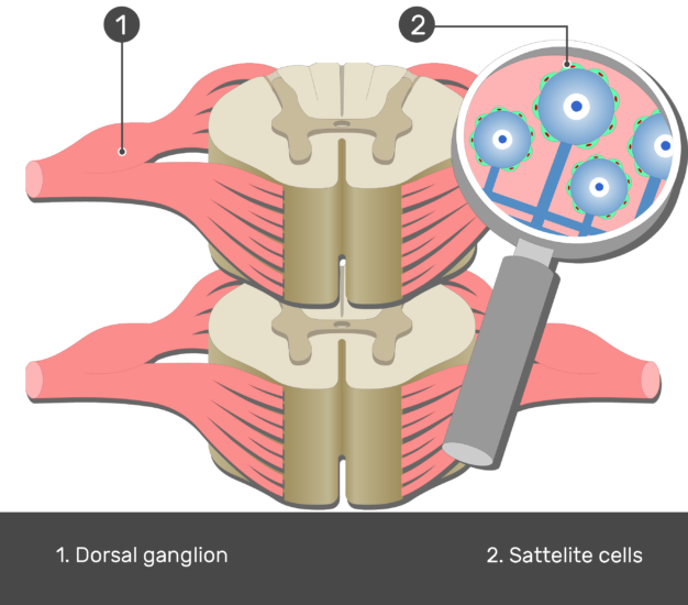 An image of the spinal cord segment showing the dorsal root ganglion and cell bodies of the satellite cells magnified labeled