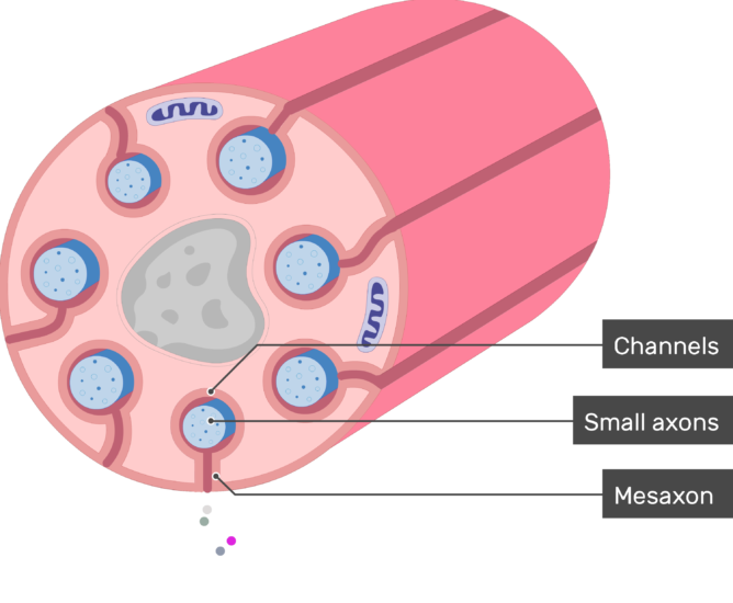 An image showing the ions moving inside and outside schwann cell which contains several small-diameter axons, mesaxons and channels