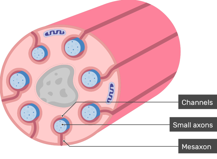 An image showing schwann cell containing several small-diameter axons and labels for channels, small axons and mesaxons