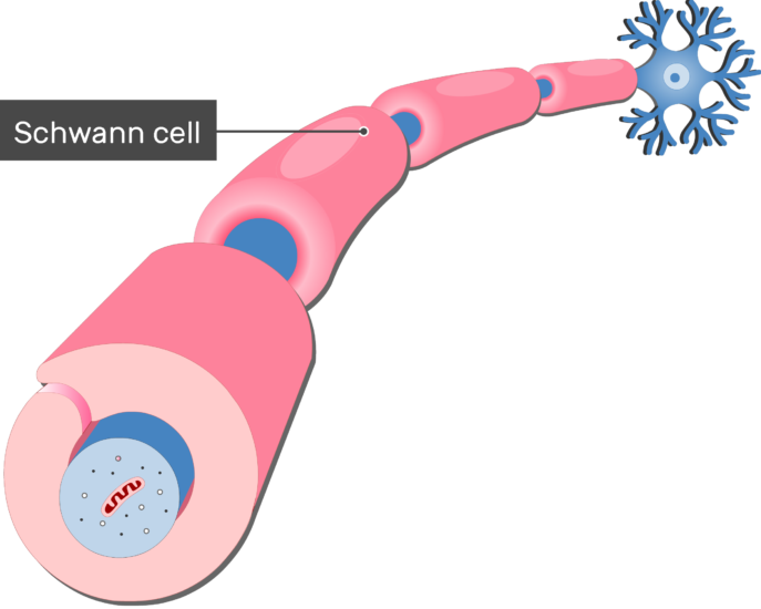 An image showing an axon of a neuron Myelinated by Schwann Cells, the schwann cell is labeled