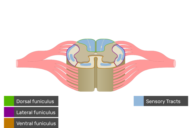 An image showing the Sensory Tracts, Ventral funiculus, Lateral funiculus and Dorsal funiculus inside the spinal cord segment