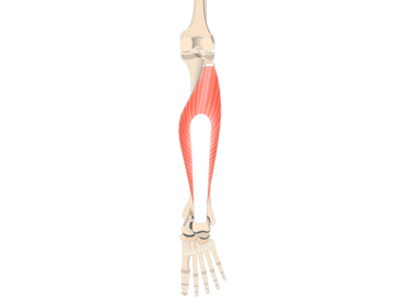 Soleus Muscle - Featured