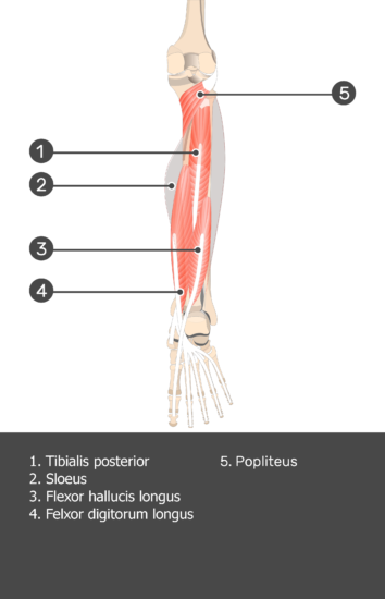 Soleus Muscle - Test yourself 11